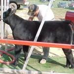 calf01